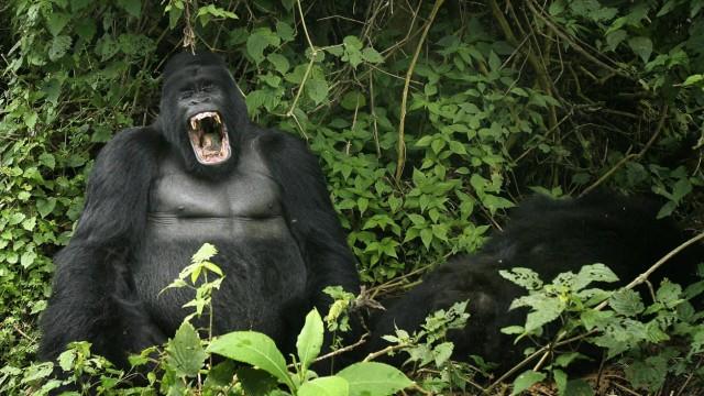 Gorilla Ruanda