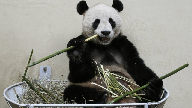 Panda-Männchen Yang Guang in seinem Gehege im Zoo von Edinbourgh