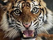 Sumatra-Tiger, AP