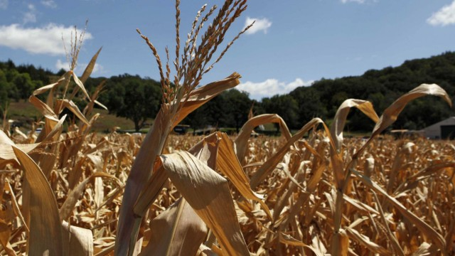 A general view of drought-damaged corn stalks at the McIntosh family farm in Missouri Valley