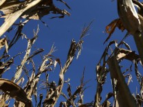 Extended Drought Pushes Corn Prices To Record Highs