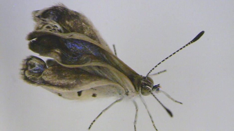 Severe mutations found in Fukushima butterflies