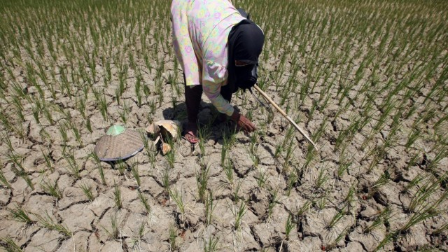 Drought caused thousands Aceh farmers suffered heavy losses due t