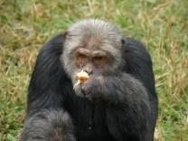 Schimpansen fehtl der Sinn für Gerechtigkeit