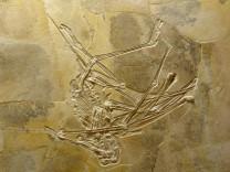 Wattendorfer Flugsaurier-Skelett