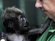 Gorilla-Baby mit Ersatzvater, ddp