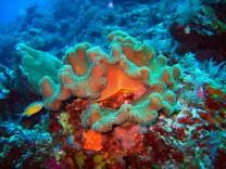 Je mehr sich eine Koralle auf bestimmte Algenarten spezialisiert hat, desto leichter kann sie sich klimatischen Änderungen anpassen.