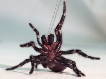 SYDNEY FUNNEL WEB SPIDER REARS UP AS ITS VENOM IS MILKED AT THE AUSTRALIAN REPTILE PARK IN GOSFORD