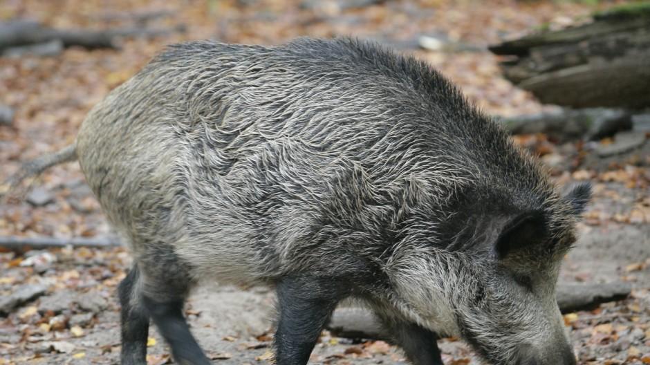 Wildschweine in Rheinland Pfalz auf dem Vormarsch