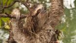 Unter den am stärksten bedrohten Arten haben Wissenschaftler der Zoological Society of London hundert ausgewählt. Auf der Liste steht auch das Zwergfaultier.