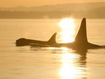 Eine alte Orca-Mutter und ihr erwachsener Sohn. Die auch Schwert- oder Killerwale genannten Tiere können sehr alt werden. Weibchen unterstützen ihre Söhne, auch wenn diese bereits erwachsen sind.