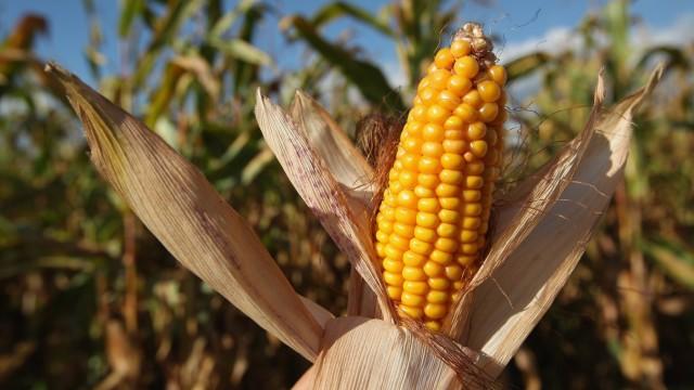 Corn Harvest Underway In Brandenburg