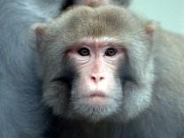 Auch Affen können etwas Mathematik
