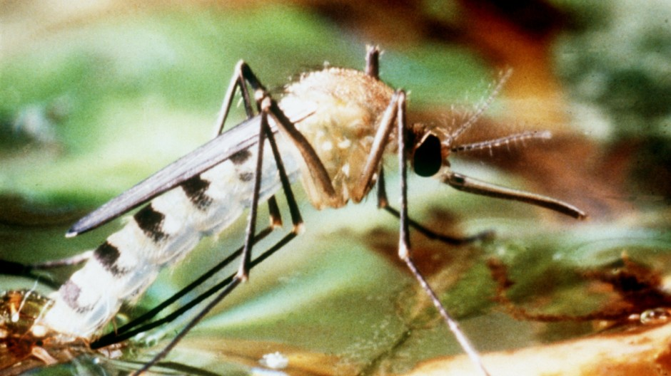 Tigermücke überträgt Dengue-Fieber - neuer Impfstoff