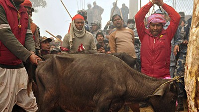 Tieropfer Tieropfer in Nepal