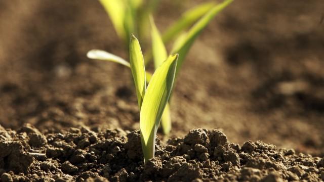 Stefansberg: WAS WÄCHST DENN DA?! TEIL 2 - Junge Maispflanzen