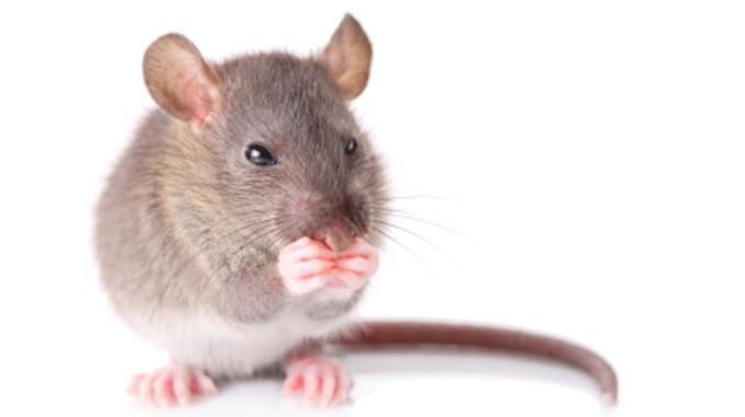 Mäuse singen