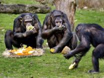 Schimpansen in einem Safari-Park in den Niederlanden. Die Menschenaffen haben Probleme im Umgang mit Trittbrettfahrern.