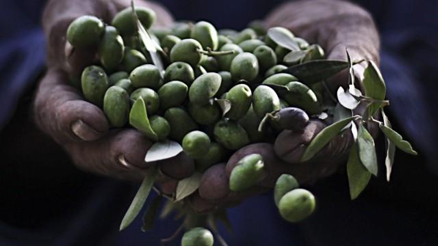 Olive harvest in Gaza