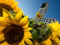 Sonnenblumen vor Stuttgarter Rathaus