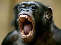 Teamfähigkeit von Schimpansen