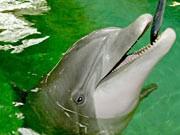 Delphin, ddp