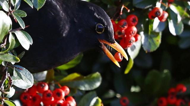 Eine Amsel versorgt sich im britischen Redditch mit Vogelbeeren. Jungtiere sind offenbar in Gefahr, wenn sie angefaulte Beeren fressen.