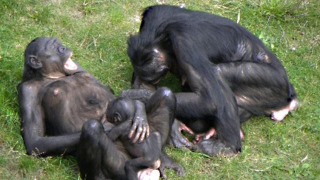 gähnende Bonobos