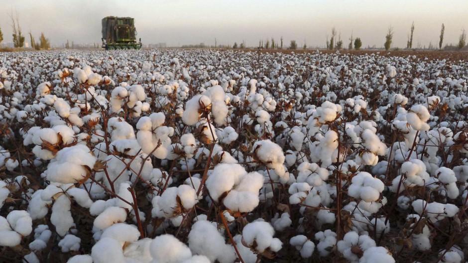 A cotton picker works in a field in Hami
