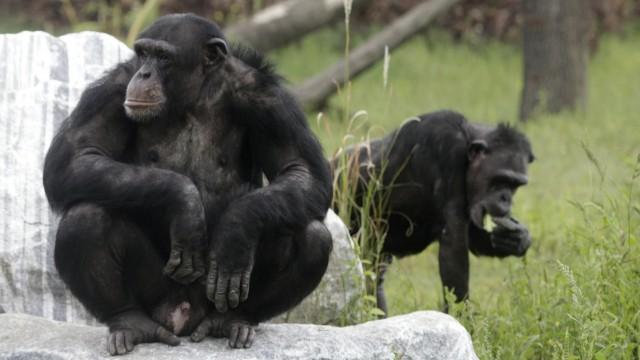 Schimpansen auf Gut Aiderbichl in Österreich. Hier kümmert man sich um traumatisierte Primaten. In vielen Zoos zeigen Menschenaffen Anzeichen einer Art Midlife-Crisis.