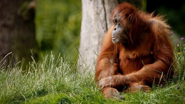 Ein Sumatra-Orang-Utan im Dortmunder Zoo. Schimpansen und Orang-Utans sind in ihrer Lebensmitte unzufriedener und unglücklicher als in ihrer Jugend und im Alter.