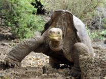"""Riesenschildkröte ´Lonesome George"""""""