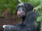 Trauer in Hellabrunn: Toni, der älteste Schimpanse ist tot.