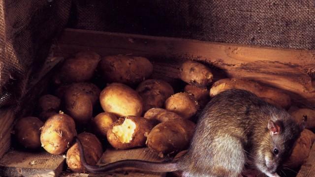 Experte warnt vor steigender Zahl von Ratten