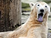 Knut, Berlin, Zoo; dpa