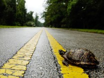 Dosenschildkröte