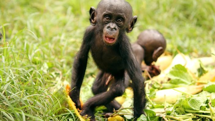 Zwergschimpansen teilen auch mit Fremden