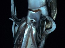 Still image taken from video shows a giant squid near Ogasawara islands