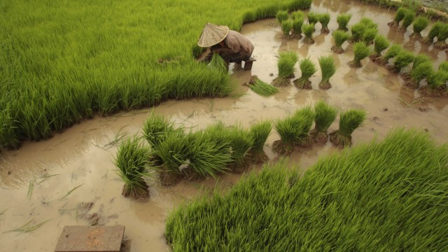 A farmer sorts rice seedlings in Gowa district, in Indonesia's South Sulawesi province