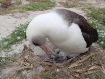 Der älteste wild lebende Vogel, der Albatros Wisdom, ist wieder Mutter.