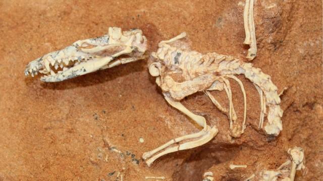 Erstes Höheres Säugetier rekonstruiert