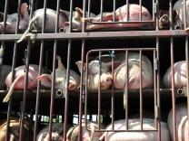 Antibiotika in Chinas Schweineställen