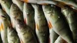 Barsche ändern ihr Verhalten durch Arzneimittel in Gewässern