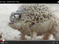 Wüsten-Regenfrosch