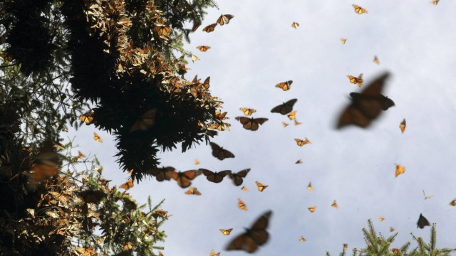 Hundreds of Monarch butterflies fly at the Pedro Herrada butterfly sanctuary, on a mountain in the Mexican state of Michoacan