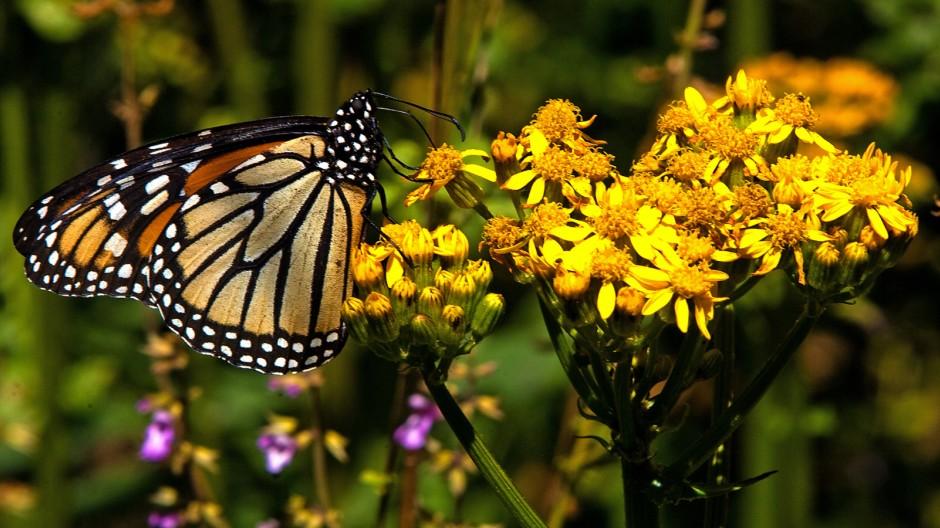 Verhaltensbiologie Migration der Monarchfalter