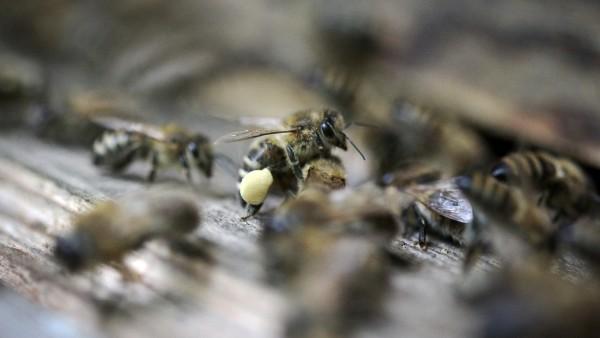 Honigschmuggel in die USA