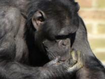 Schimpansen im ZSL Whipsnade Zoo