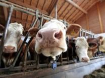Kühe, Mais, Futtermittel, krebserregend