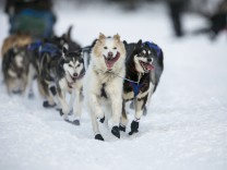 The lead dogs of Sonny Lindner charge down the trail after the re-start of the Iditarod dog sled race in Willow, Alaska